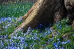 Magdalen's bluebells