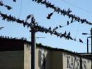 Ormond's Pigeon Flock