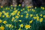 Daffodils at Magdalen